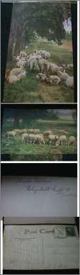Sheep Flock Ruminating